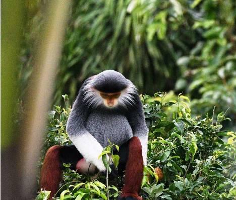 عکس میمون دوک پا قرمز