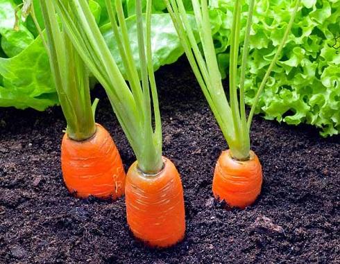 کاشت هویج در خانه