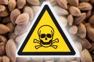 هسته زردآلو نخورید، خطرناک است