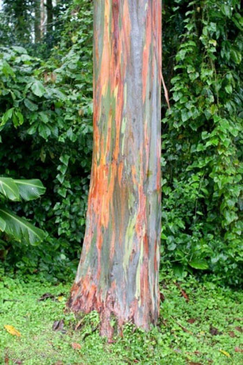 درخت رنگی، عجیب ترین جلوه طبیعت در دنیا
