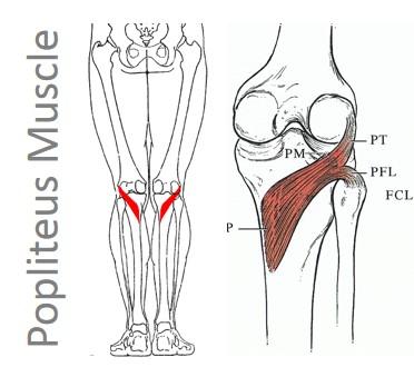 عضله گودی زانو (Popliteus)