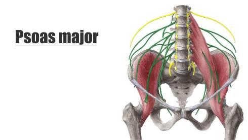 عضله مازویی بزرگ (Psoas major)
