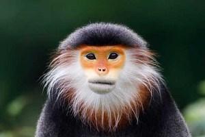 میمون بسیار نادر و زیبایی که هیچوقت آب نمی نوشد! عکس