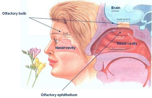 علت وجود یک بوی همیشگی در بینی: تعامل بین حس بویایی و مغز