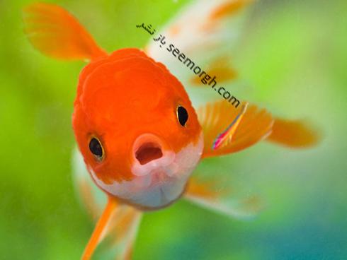ماهی قرمز سفره هفت سین و خطرات آن ! لطفا ماهی قرمز نخرید