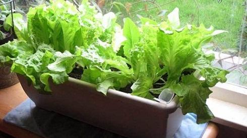 کاشت سبزیجات سالادی در خانه