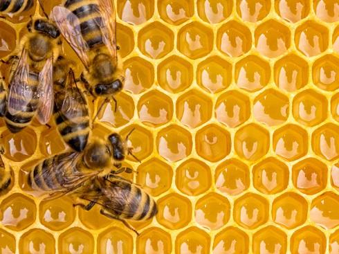 موم عسل،زنبور عسل