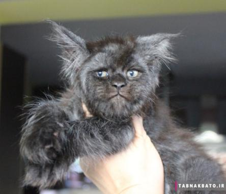گربه با چهره انسانی