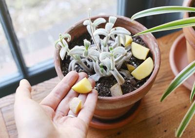 از بین بردن پشه های ریز گلدان خانگی با سیر,روشهای از بین بردن پشه گلدان خانگی