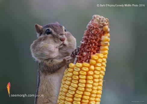 سنجاب گرسنه,عکاسی,کمدی,حیات وحش,barb darpino