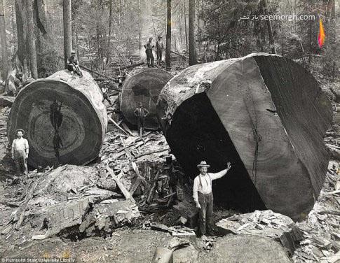 لامبرجک,چوب بری,عکس قدیمی