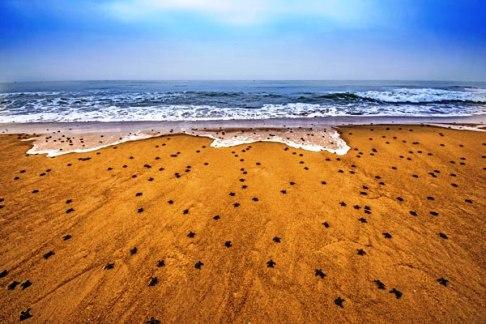 تلاش بچه لاک پشت ها برای رسیدن به دریا