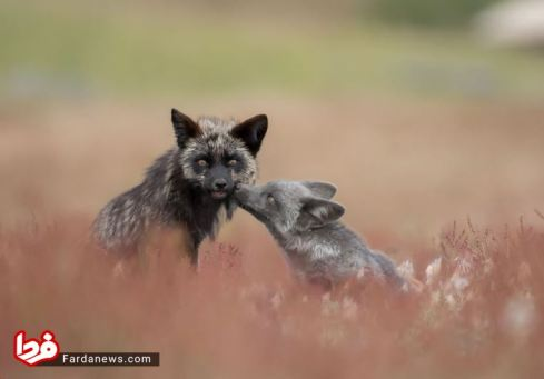 بچه روباه در کنار مادرش