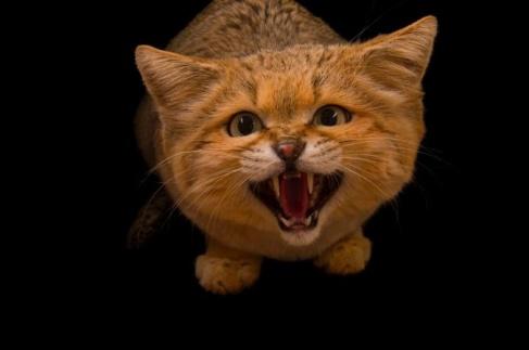 گربه خشمگین