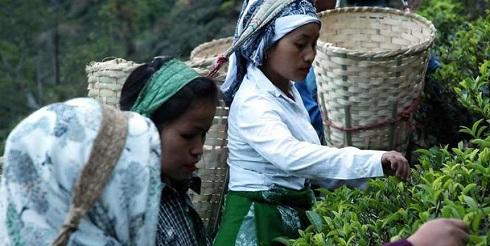 چای دارجلینگ,خواص چای دارجلینگ,گران ترین چای,گرانترین چای,چای دارجلینگ هند