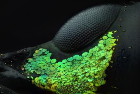 چشم سوسک METAPOCYRTUS در زیر میکروسکوپ
