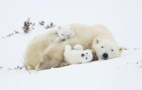 بچه خرس های در کنار مادرشان