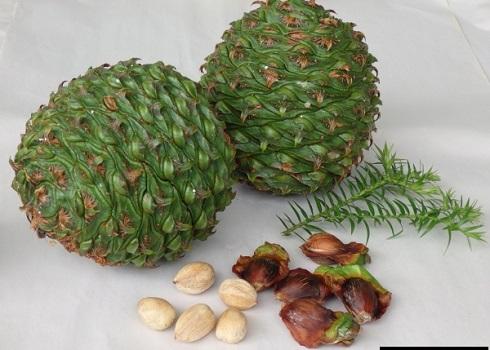 میوه کاج