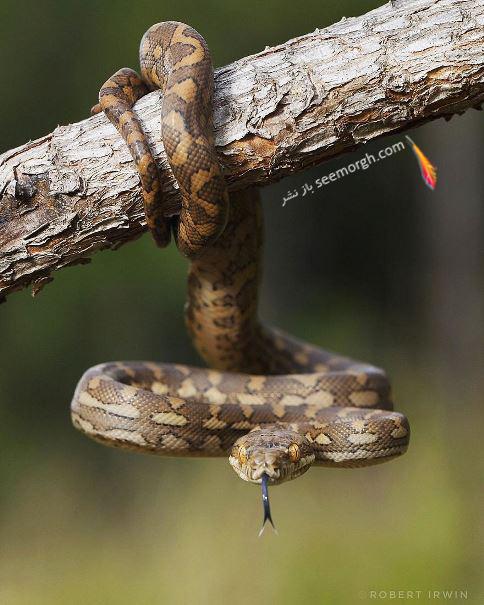 رابرت آروین,عکاس,حیات وحش,طبیعت,عکاسی حیات وحش