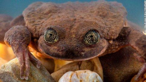 چشمان تنهاترین قورباغه جهان به نام رومئو
