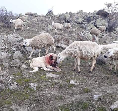 همدردی گوسفند با سگ گله
