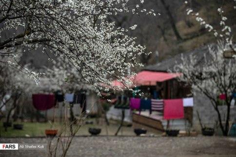 شکوفه بهاری درختان در گیلان
