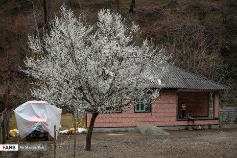 شکوفه درختان در تالش استان گیلان