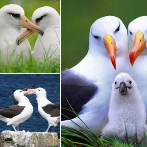 آلباتروس ها رمانتيک ترين پرندگان جهان