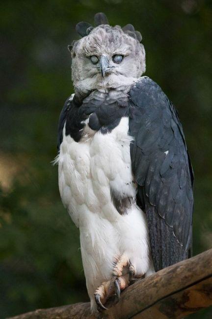 چهره ترسناک عقاب هارپی