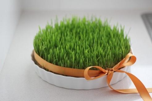 سبزه,سبزه گندم,سبزه عید,سبزه نوروز,سبزه برای عید با گندم,درست کردن سبزه عید با گندم