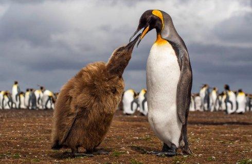 پنگوئن پادشاه درحال غذا دادن به فرزندش