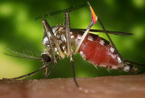 mosquito_chlerotatus_triseriatus_mosquito.jpg