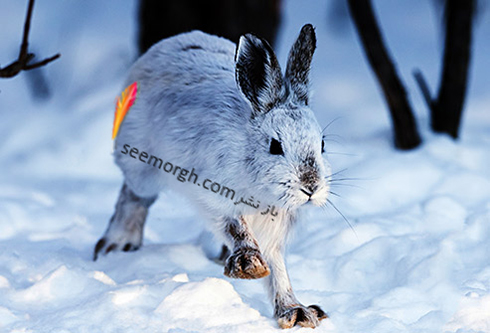 mosquito_snowshoe_hare_in_nature.jpg