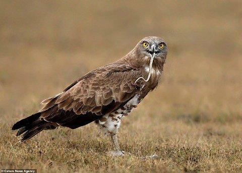 خورده شدن مار توسط عقاب