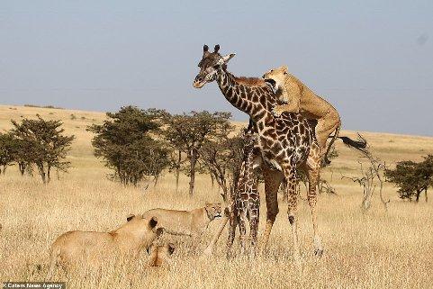 حمله شیر ها به زرافه برای گرفتن فرزند وی