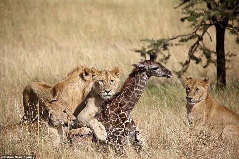 شکار بچه زرافه توسط شیر ها