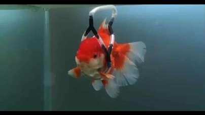 کمربند برای ماهی قرمز