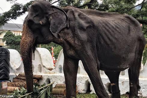 سوء تغذیه شدید فیل 70 ساله