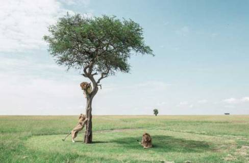 استراحت شیر ها در کنار درخت