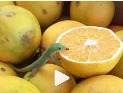 مارمولک کوچک سبز درحال لیس زدن پرتقال