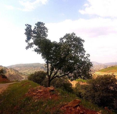 درختی شبیه نقشه ایران