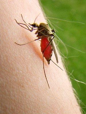پشه,نیش پشه,نیش حشرات