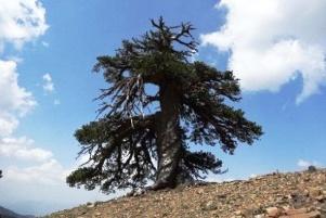 درختی که ۱۰۷۵ سال عمر دارد