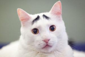 چهره بامزه گربه ای با ابرو های خاص با لقب گربه نگران!