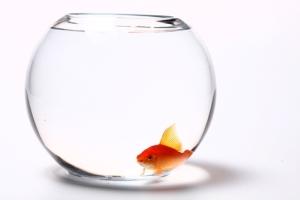 ماهی قرمزهای امسال هم بیماری زا هستند؟