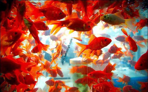 ماهی قرمز سفره هفت سین