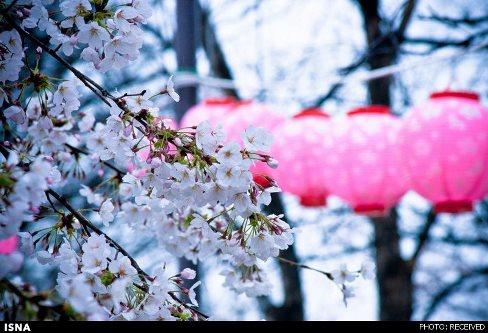 جشن شکوفه های گیلاس در ژاپن