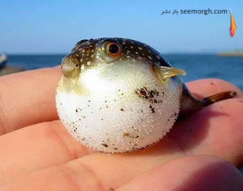 ماهی کوچک خودش را باد می کند تا شکارچی بترسد