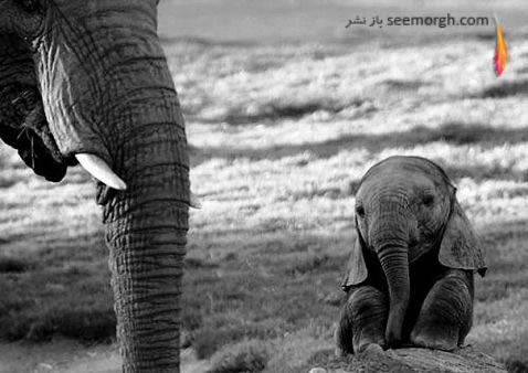 بچه فیل خسته!