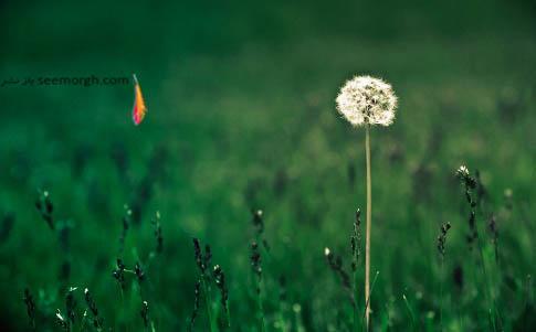 گل قاصدک